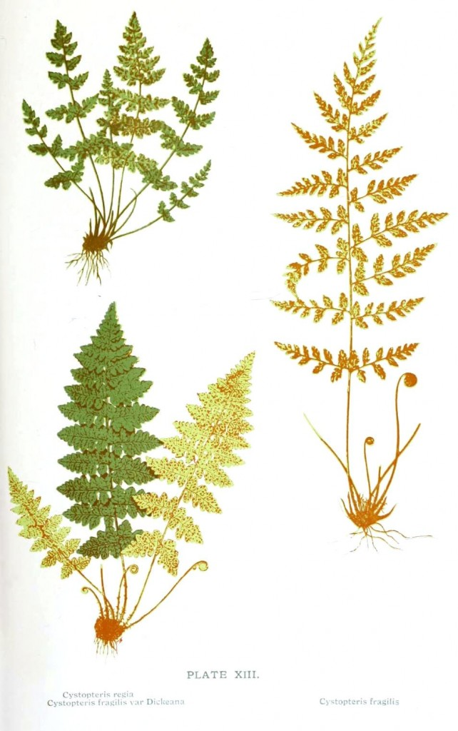 Botanical - Leaf - Fern, British Fern   (12)