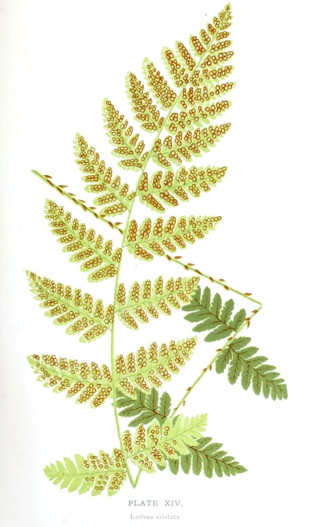 Botanical - Leaf - Fern, British Fern   (13)