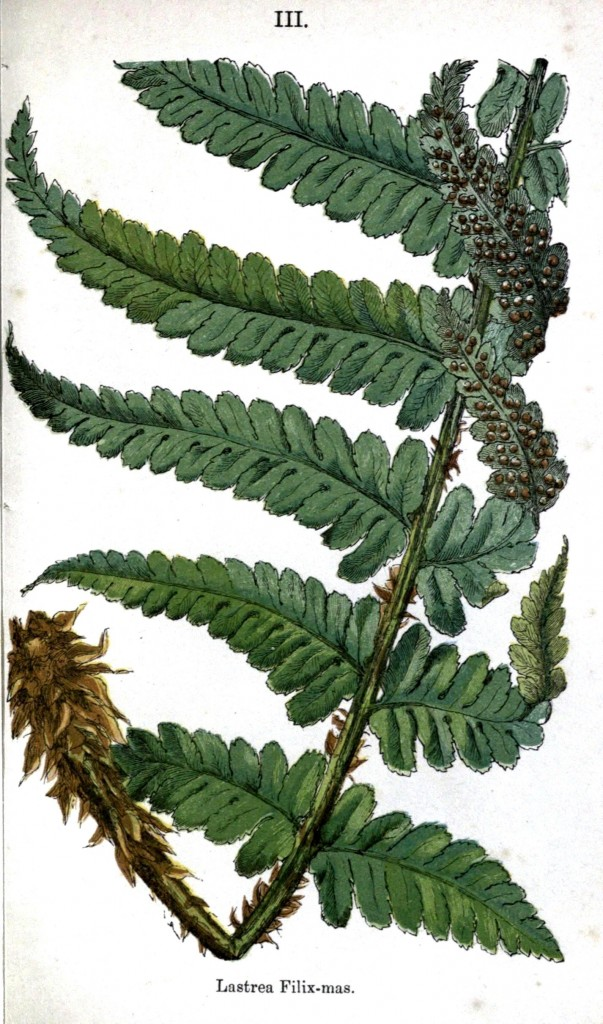 Botanical - Leaf - Fern, British Fern   (16)