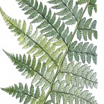 Botanical - Leaf - Fern, British Fern   (17)