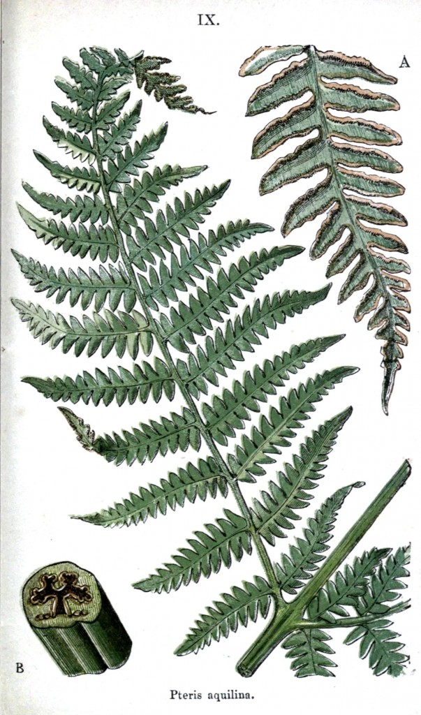 Botanical - Leaf - Fern, British Fern   (19)