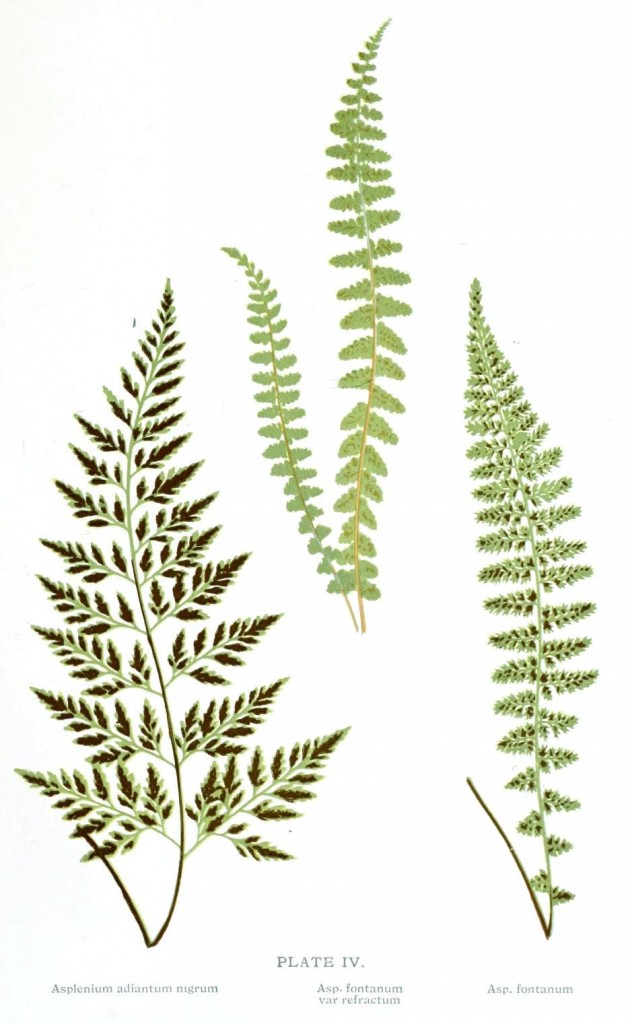 Botanical - Leaf - Fern, British Fern   (2)