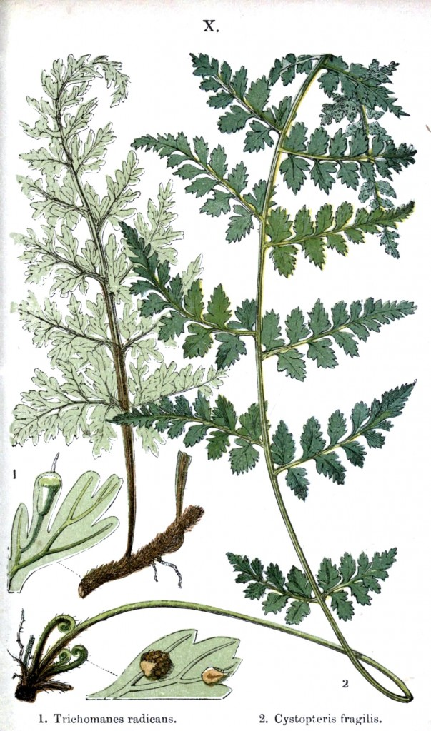 Botanical - Leaf - Fern, British Fern   (20)