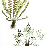 Botanical - Leaf - Fern, British Fern   (22)