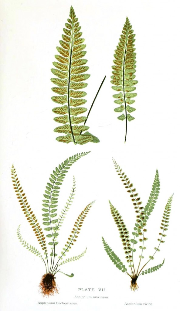 Botanical - Leaf - Fern, British Fern   (6)