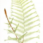 Botanical - Leaf - Fern, British Fern   (9)