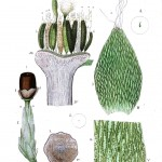 Botanical - Moss - Educational plate 1
