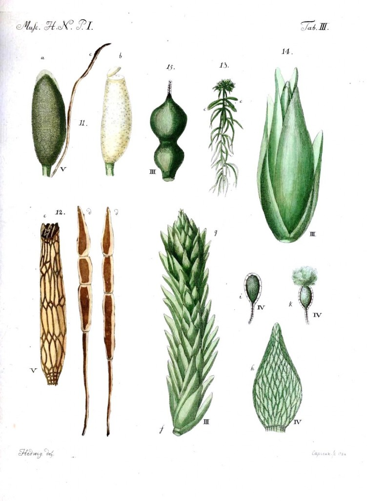 Botanical - Moss - Educational plate 3