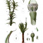 Botanical - Moss - Educational plate 5