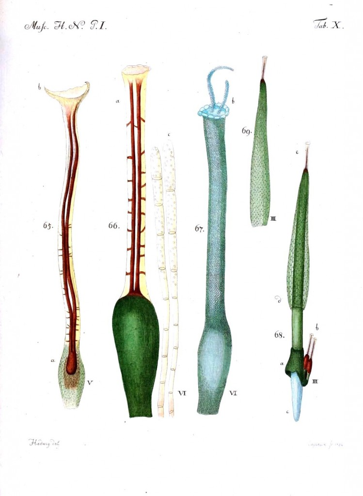 Botanical - Moss - Educational plate 6