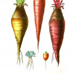 Botanical - Root vegetables 1 - Carrots