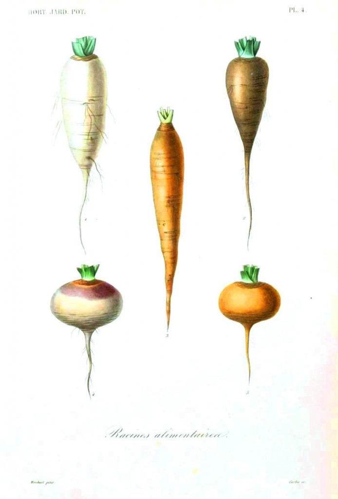 Botanical - Root vegetables 4