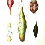 Botanical - Root vegetables 5