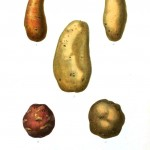 Botanical - Root vegetables 6 - Potato