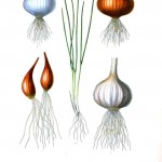 Botanical - Root vegetables 7 - Onion, garlic