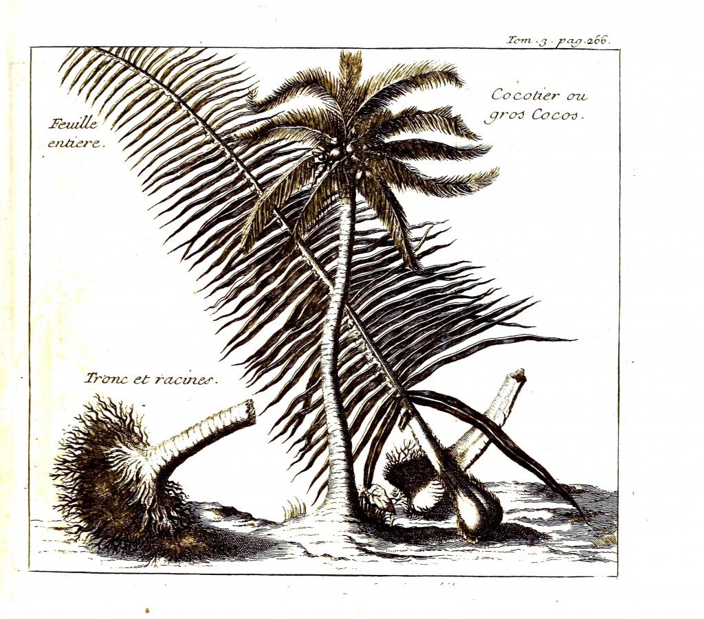 Botanical - Tree - Coconut palm