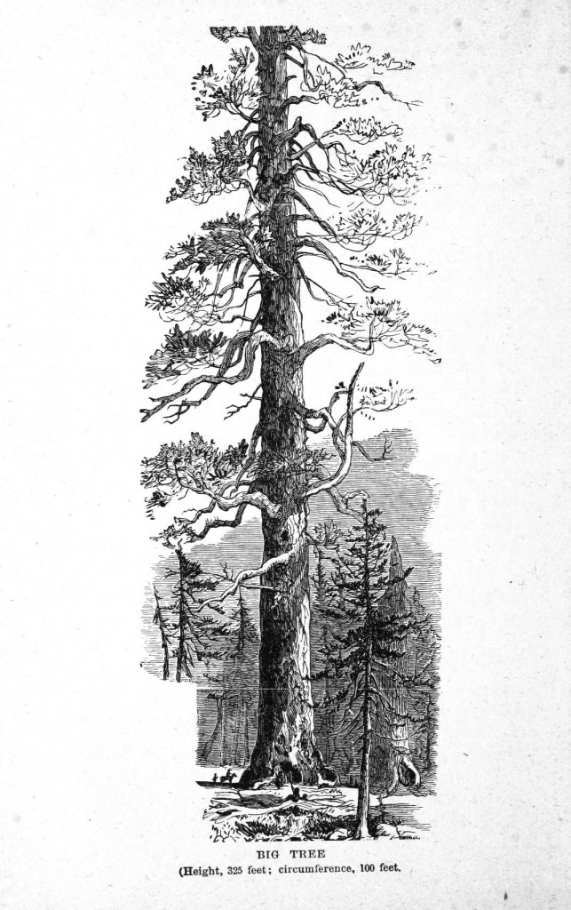 Botanical - Tree - Giant Redwood, 1851