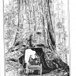 Botanical - Tree - Giant Redwood, 1851 - drive thru