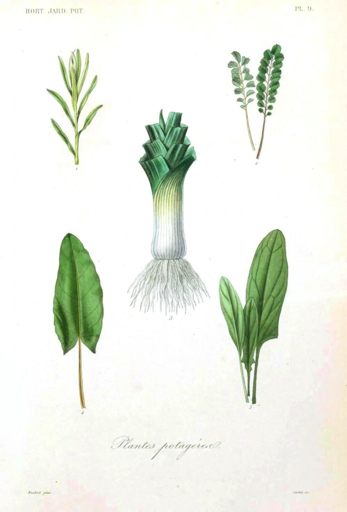 Botanical - Vegetables 1 - Leek