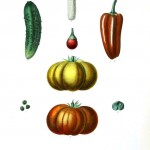 Botanical - Vegetables 11 - Squash