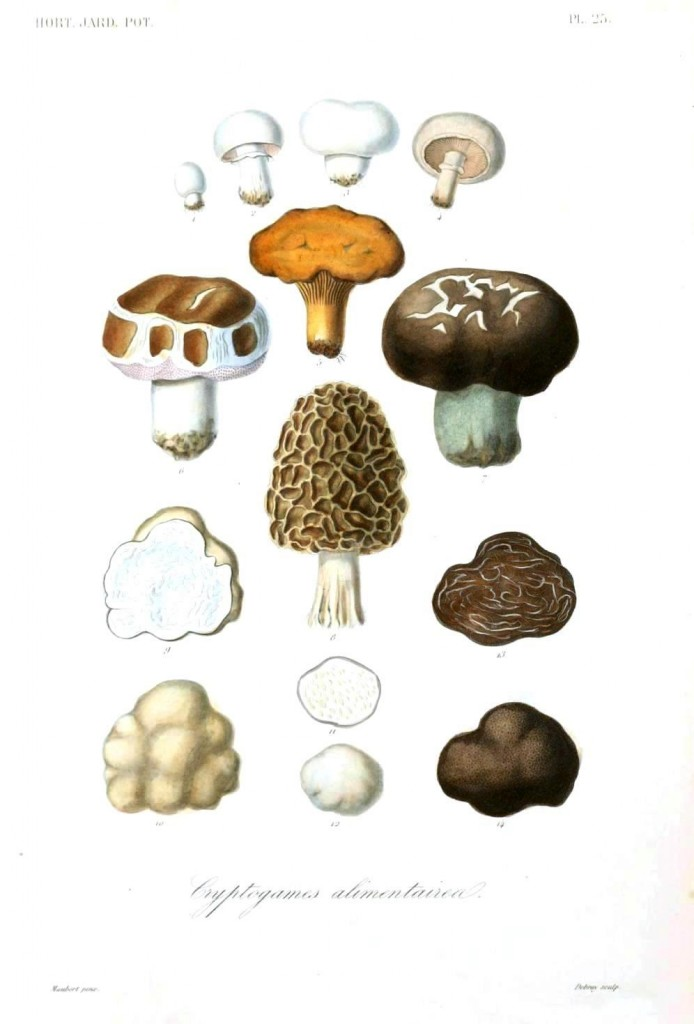 Botanical - Vegetables 12 - Mushroom