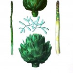 Botanical - Vegetables 2 - Artichoke, asparagus