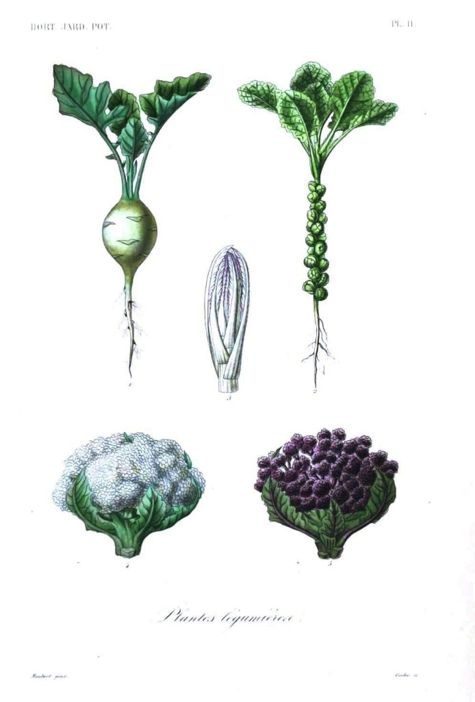 Botanical - Vegetables 3 - Cauliflower