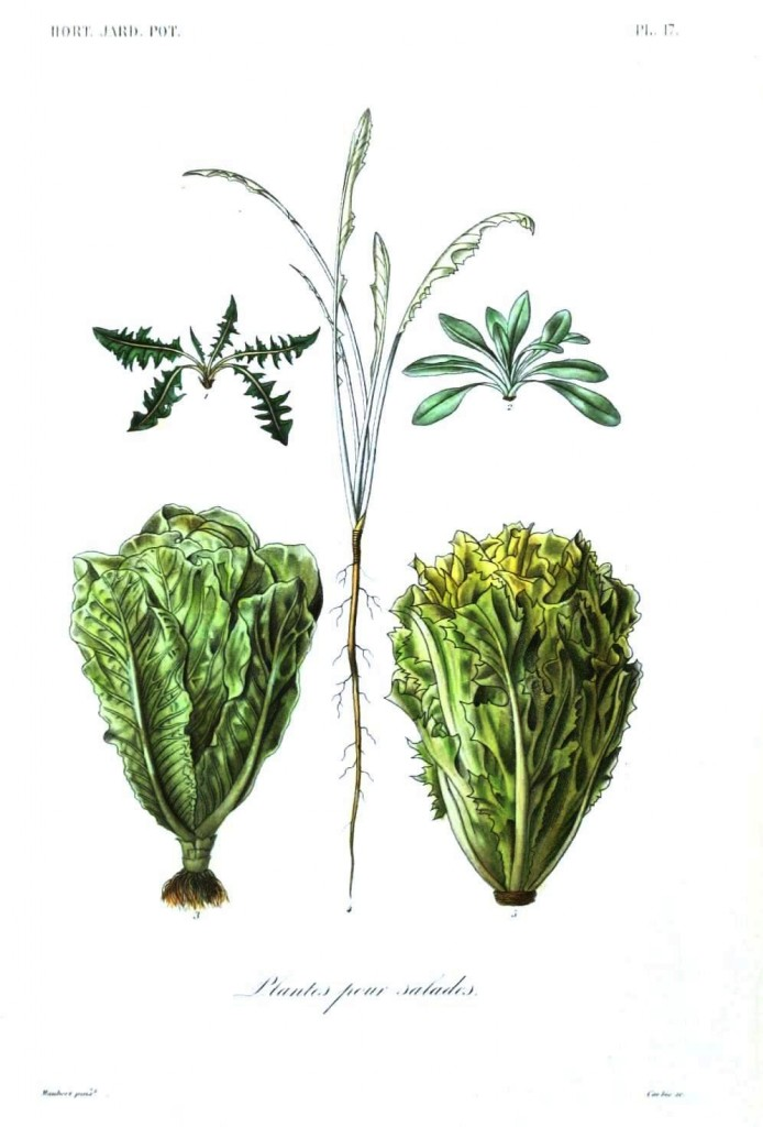 Botanical - Vegetables 7 - Lettuces