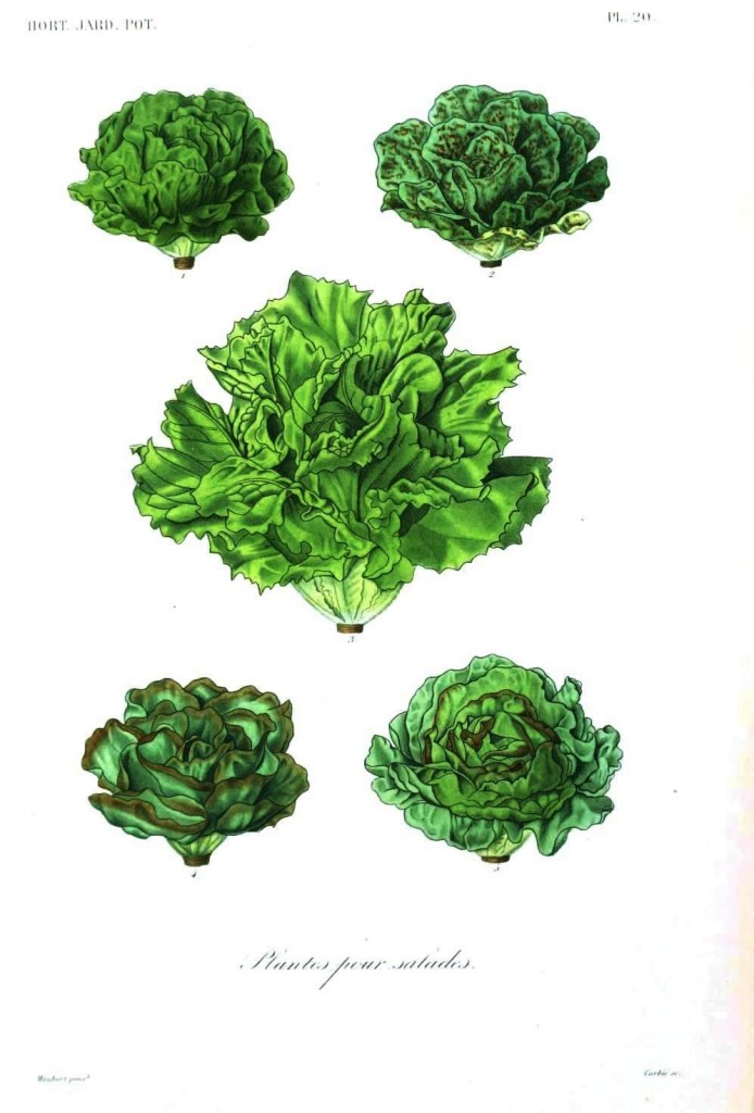 Botanical - Vegetables 9 - Lettuces