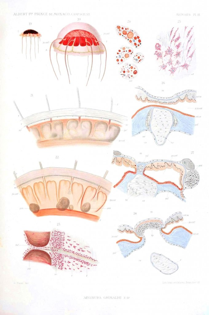 Microscopic - Educational plate - Jellyfish, educational plate