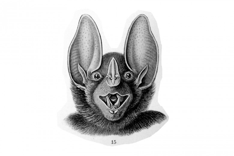 Bat face, Haeckel bat illustration