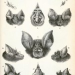 Animal - Animal head - Bat heads 1