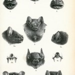 Animal - Animal head - Bat heads 10