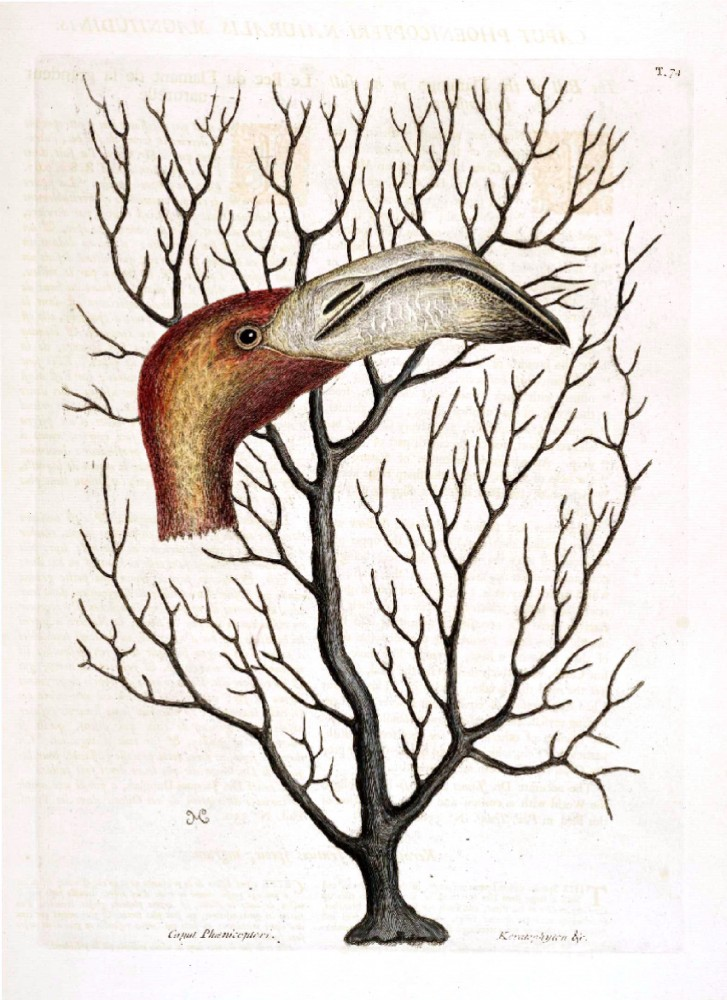Animal - Animal head - Bird Catesby (1)