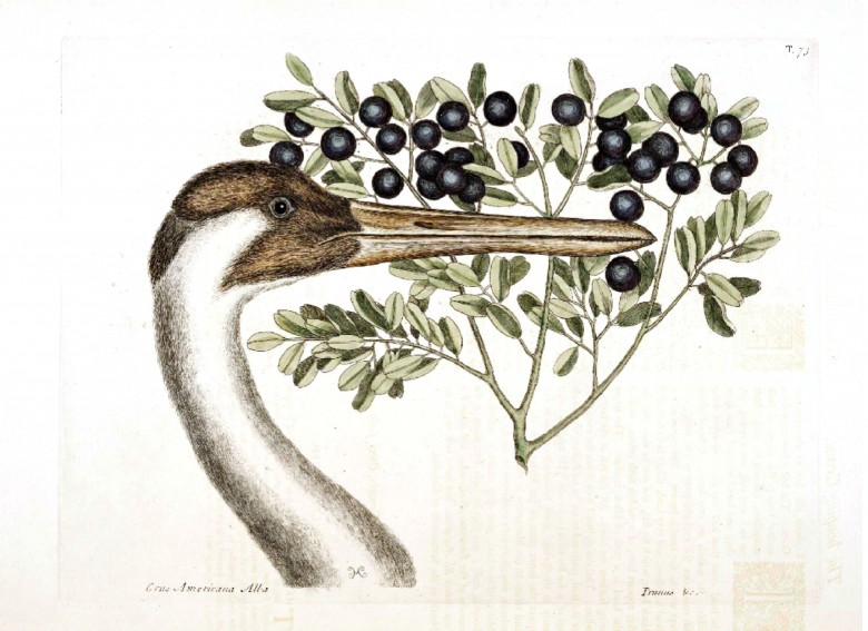 Animal - Animal head - Bird Catesby (2)