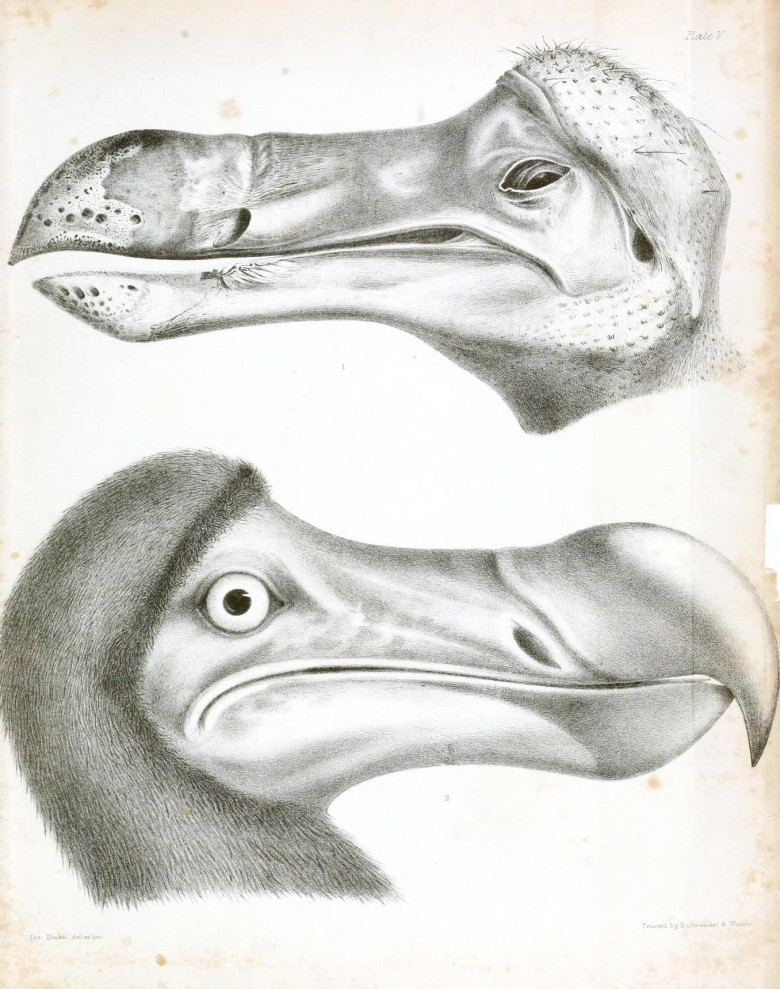 Animal - Animal head - Bird - Dodo - Head