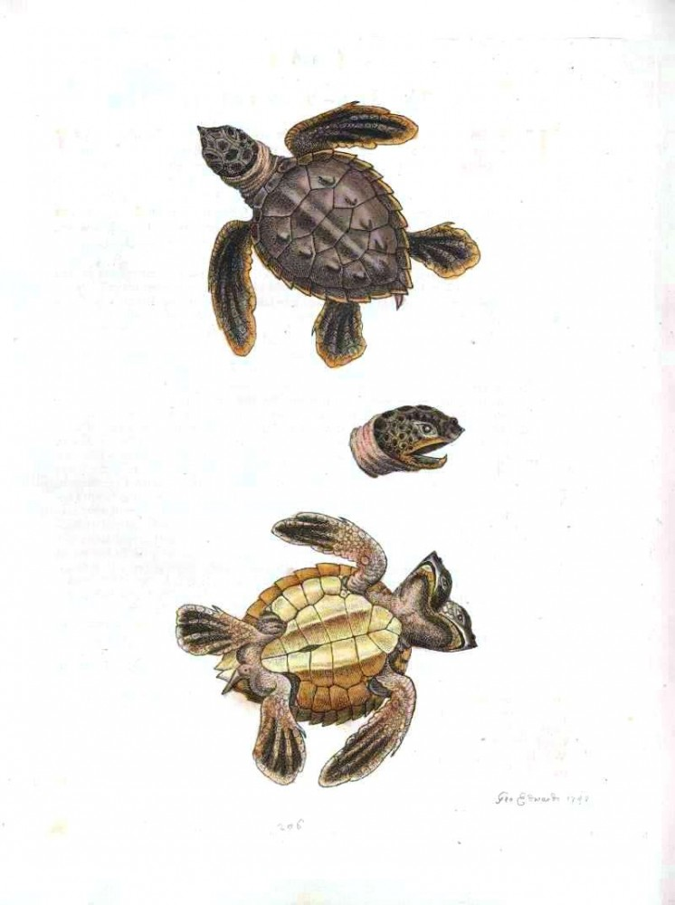 Animal - Animal head - Reptile - Turtle - Two-headed