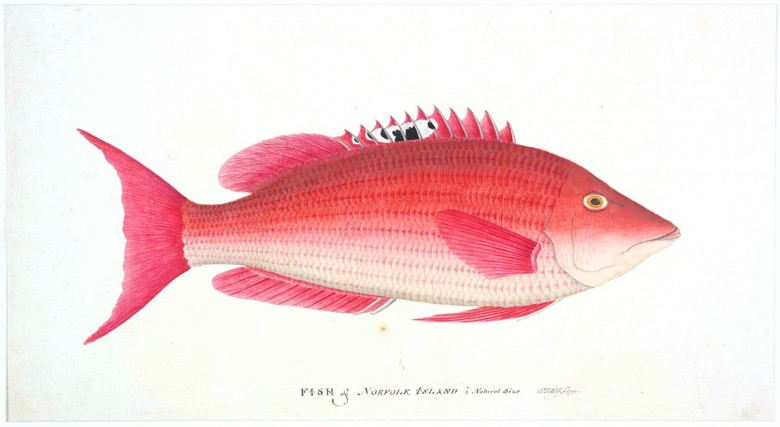Animal - Australia - Fish - Fish of Norfolk Island