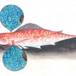 Animal - Australia - Fish - Red Gurnard 2
