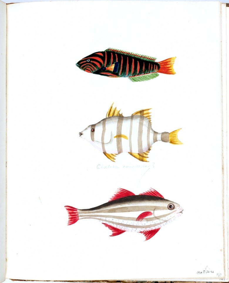 Animal - Australia - Fish - Yellow green wrasse; Old wife; Four-lined trumpter perch