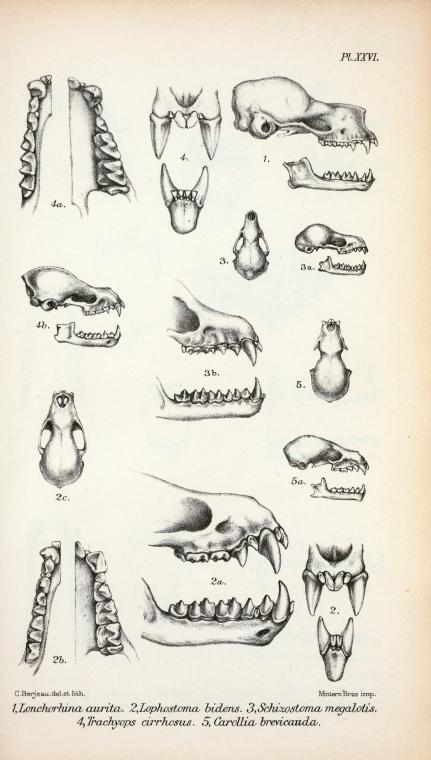 Animal - Bat - Anatomy - Bat teeth and jaw (1)