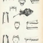 Animal - Bat - Anatomy - Bat teeth and jaw (2)