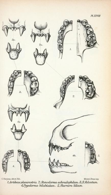Animal - Bat - Anatomy - Bat teeth and jaw (3)