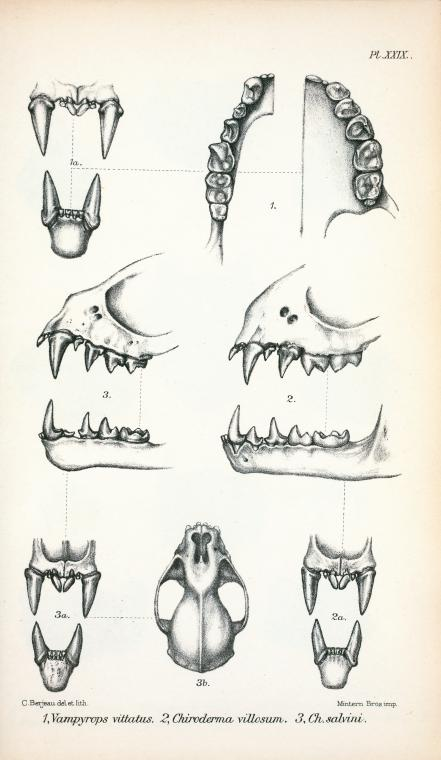 Animal - Bat - Anatomy - Bat teeth and jaw (4)