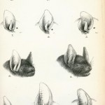 Animal - Bat - Anatomy - Ears and foreheads educational plate