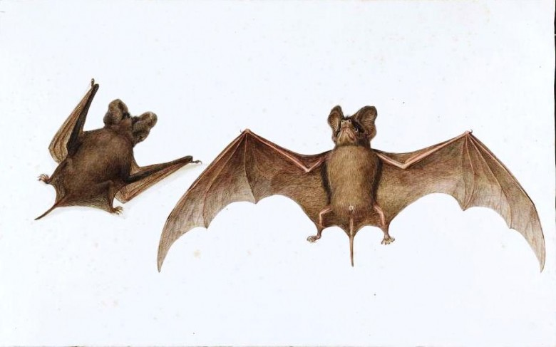 Animal - Bat - Animals of the Levant