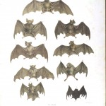 Animal - Bat - Bats of Brazil 2