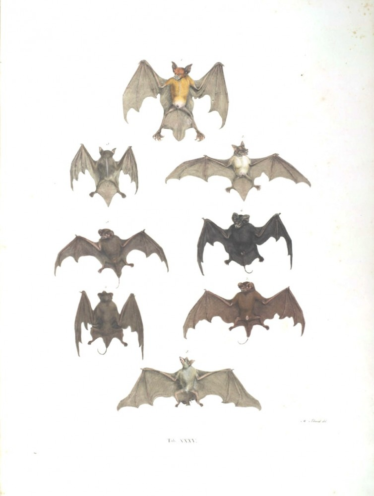 Animal - Bat - Bats of Brazil