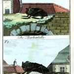 Animal - Bat - Engraving 1785 - German (1)