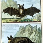 Animal - Bat - Engraving 1785 - German (3)